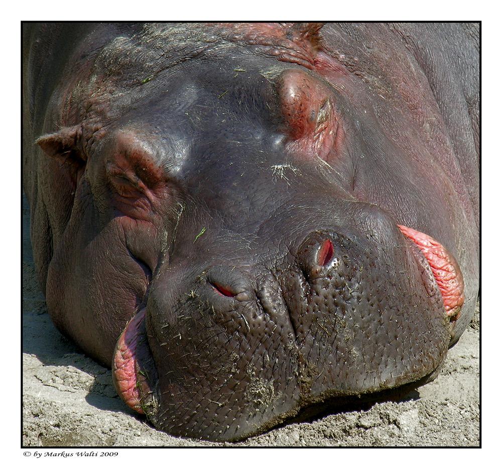 Siesta a la Hippo..