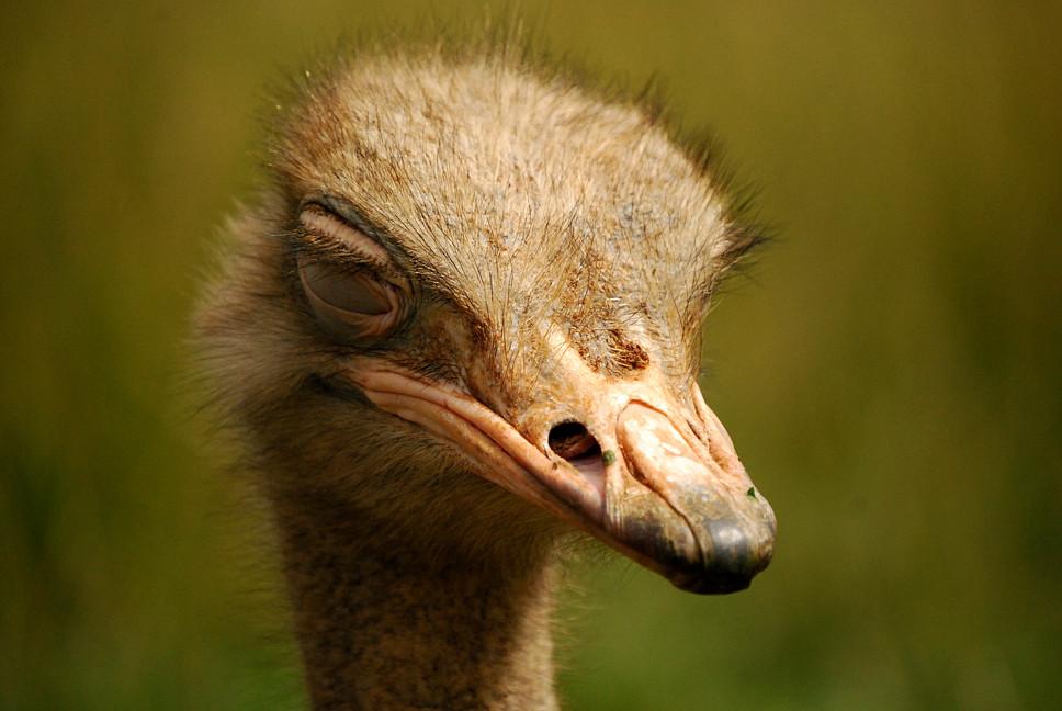 Siesta de avestruz
