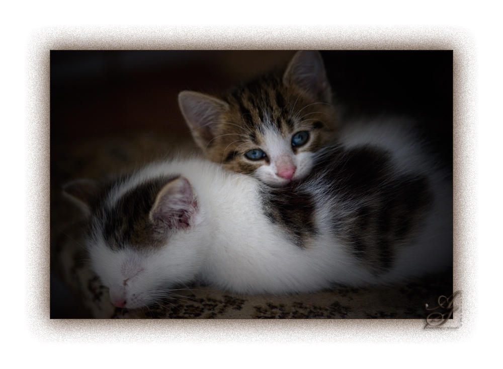 Siesta Kätzchen