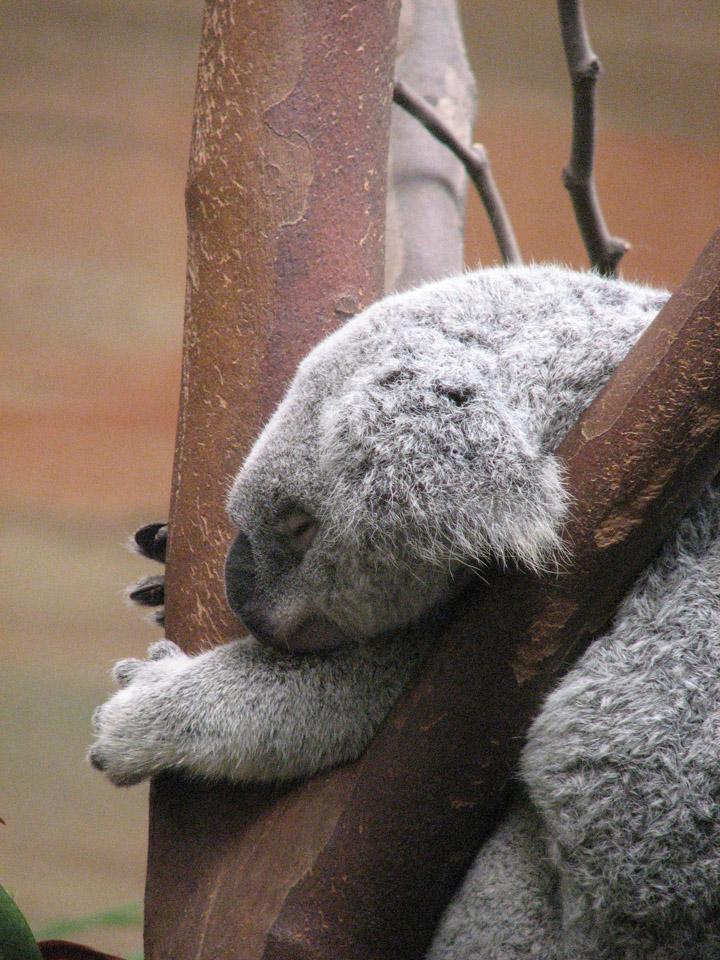 Sieste du Koala