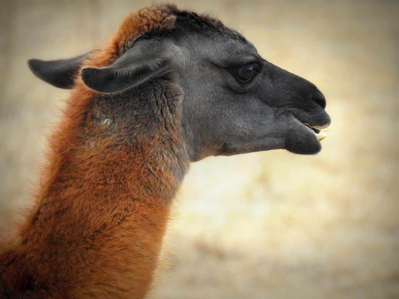 Signor Lama