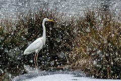 Silber Reiher (Ardea alba) im Schneegestöber