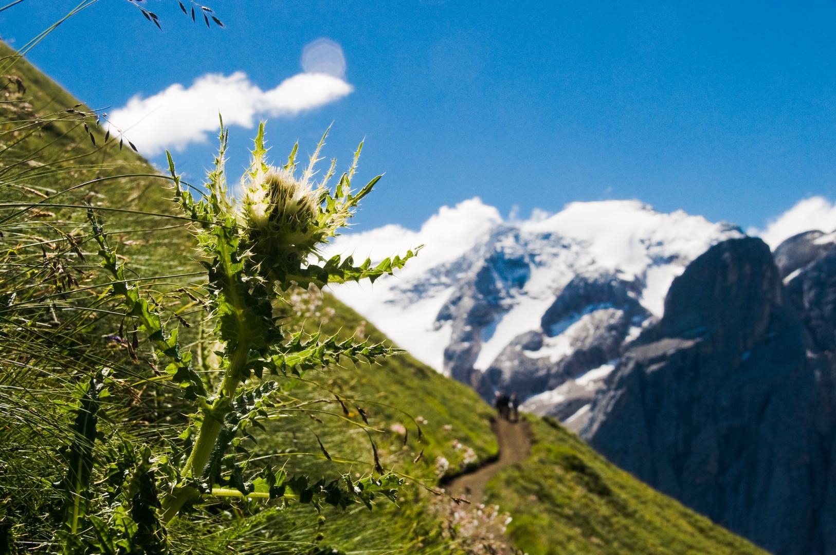 Silberdistel an der Marmolada (Dolomiten)