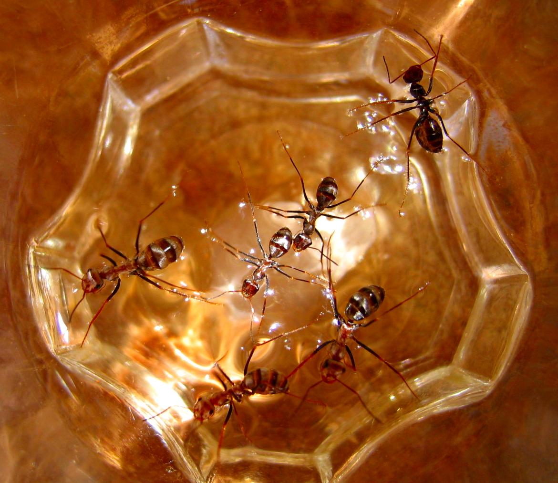 Silberne Ameisen - Ägypten