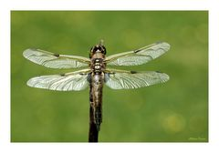silberne Flügel