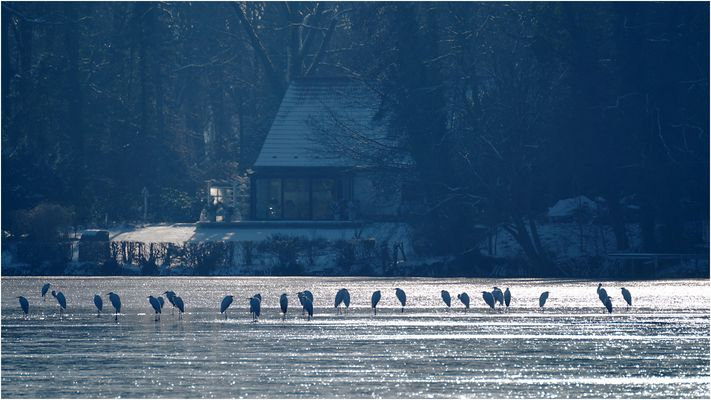 Silberreiher auf dem Sacrower See 03