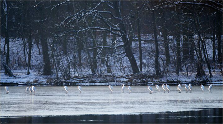 Silberreiher auf dem Sacrower See 04