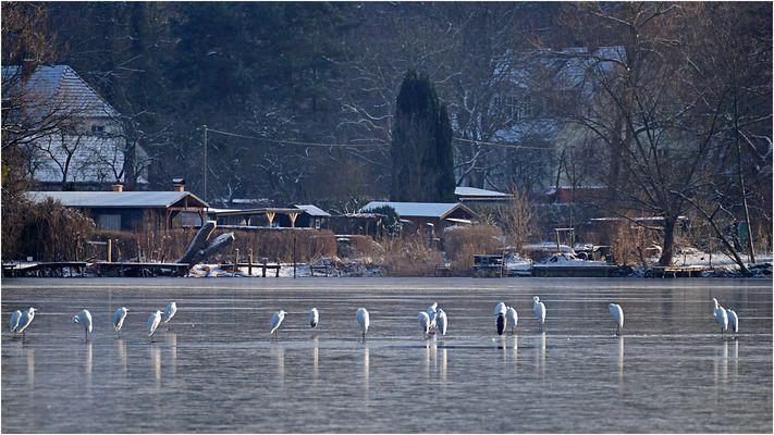 Silberreiher auf dem Sacrower See 05