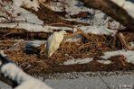 Silberreiher (Casmerodius albus)