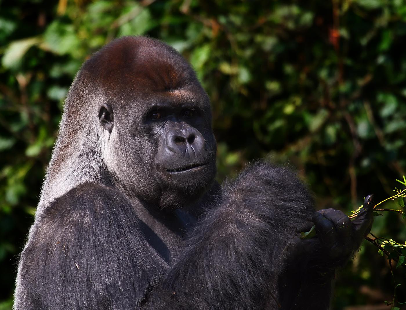 Silberrücken Gorilla