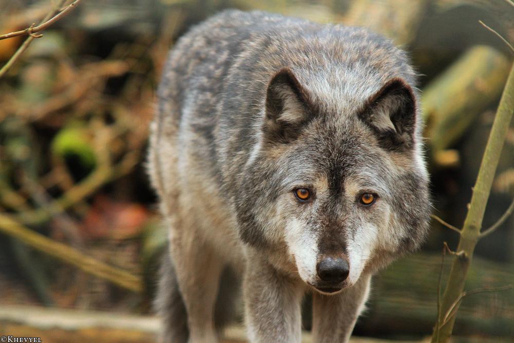 Silberwolf