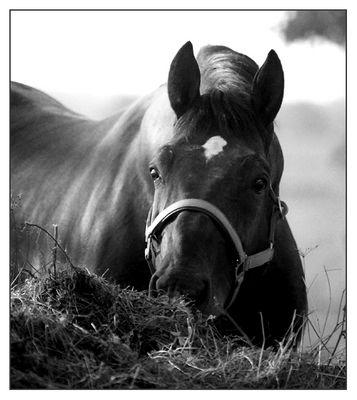 Silesian stallion Rapid