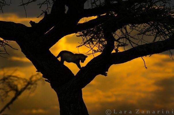 Silhouette al tramonto in tanzania (AFRICA)