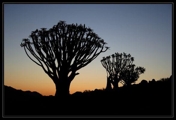 Silhouette Köcherbäume