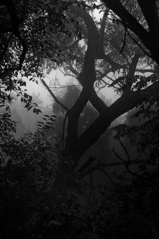 silhouette.fog.woods