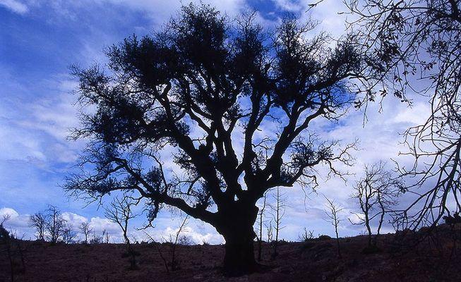 Silhouetten-Baum