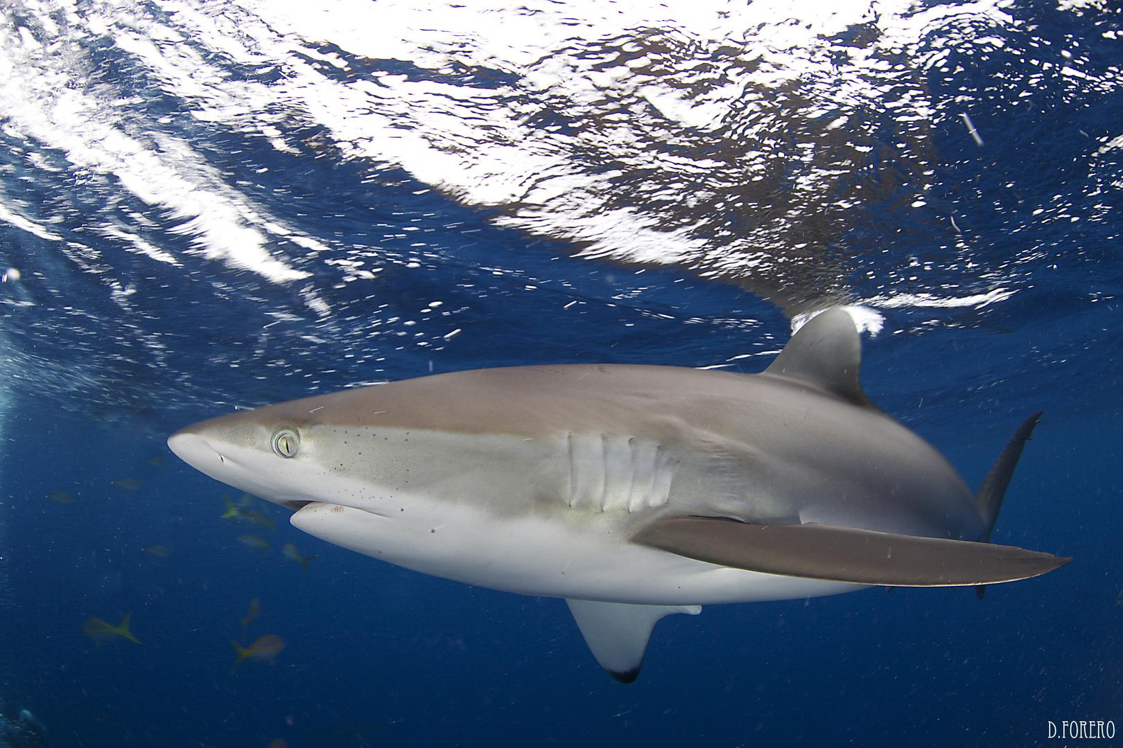 Silky shark 2
