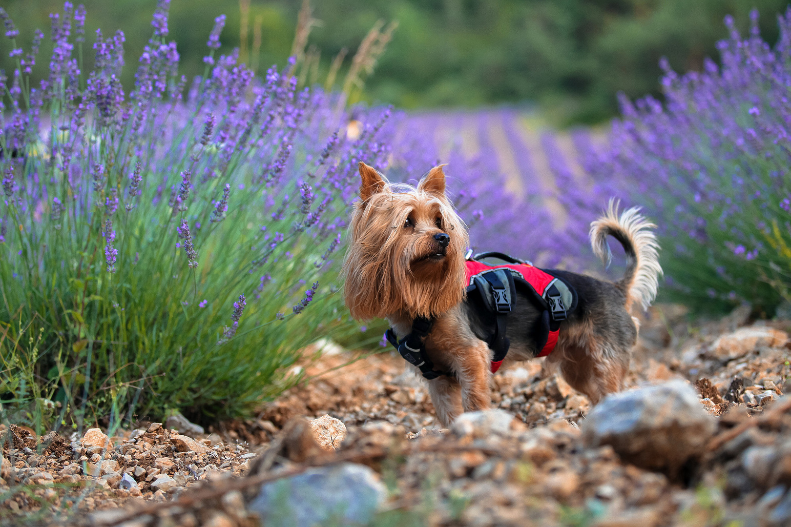 Silky Terrier in Provence