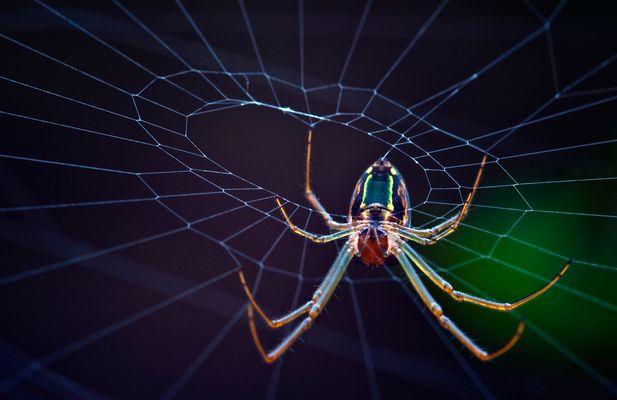 Silver Marsh Spider
