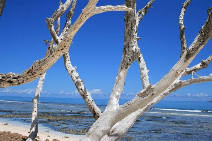Silver Trees of La Digue
