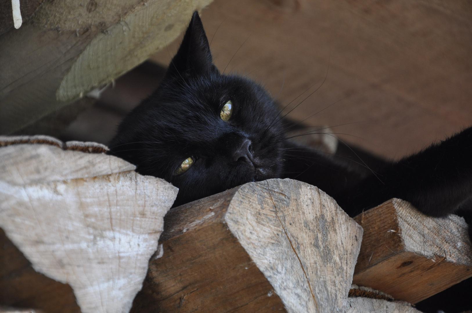 Simba the black cat
