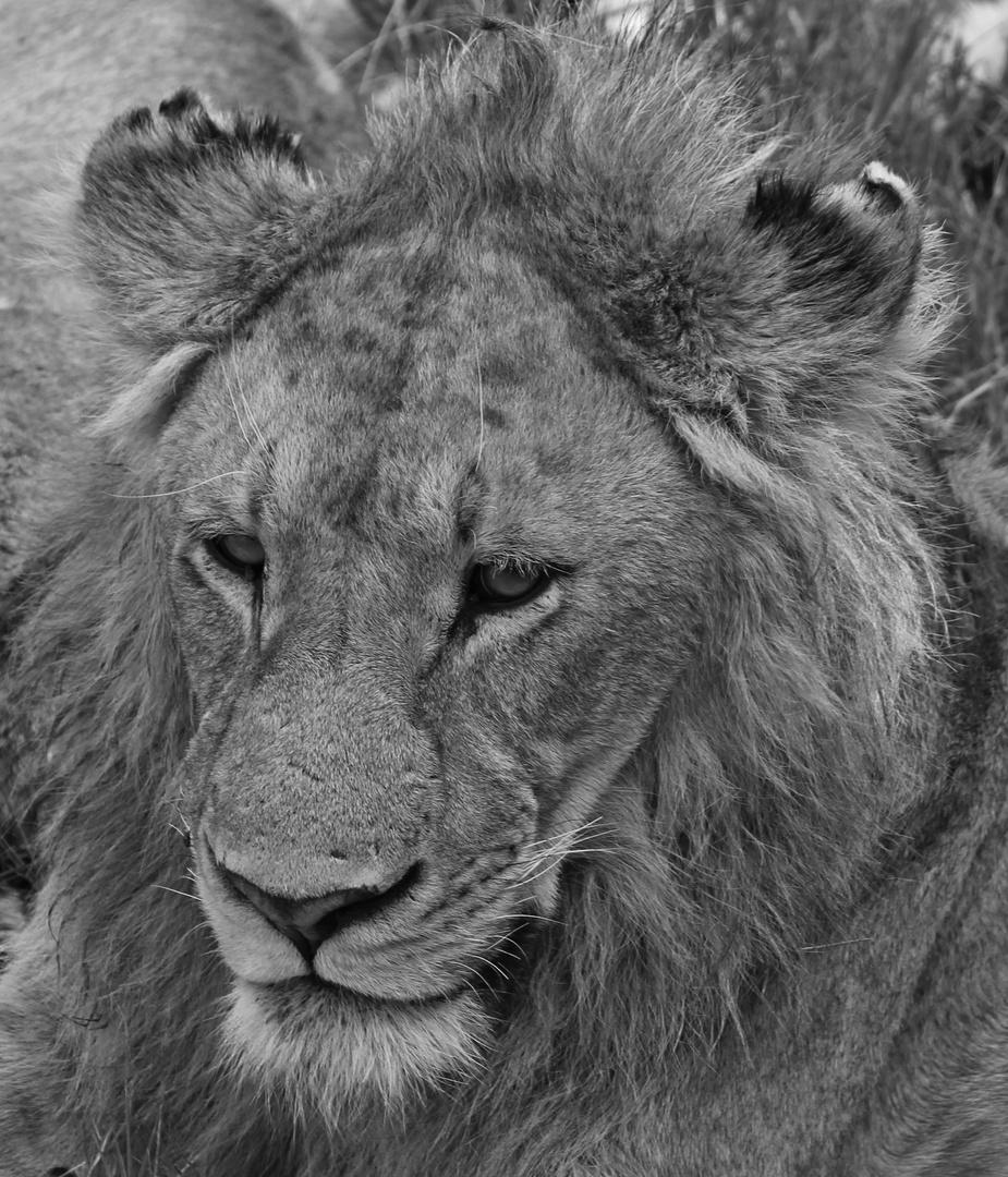 Simba, the Lion King