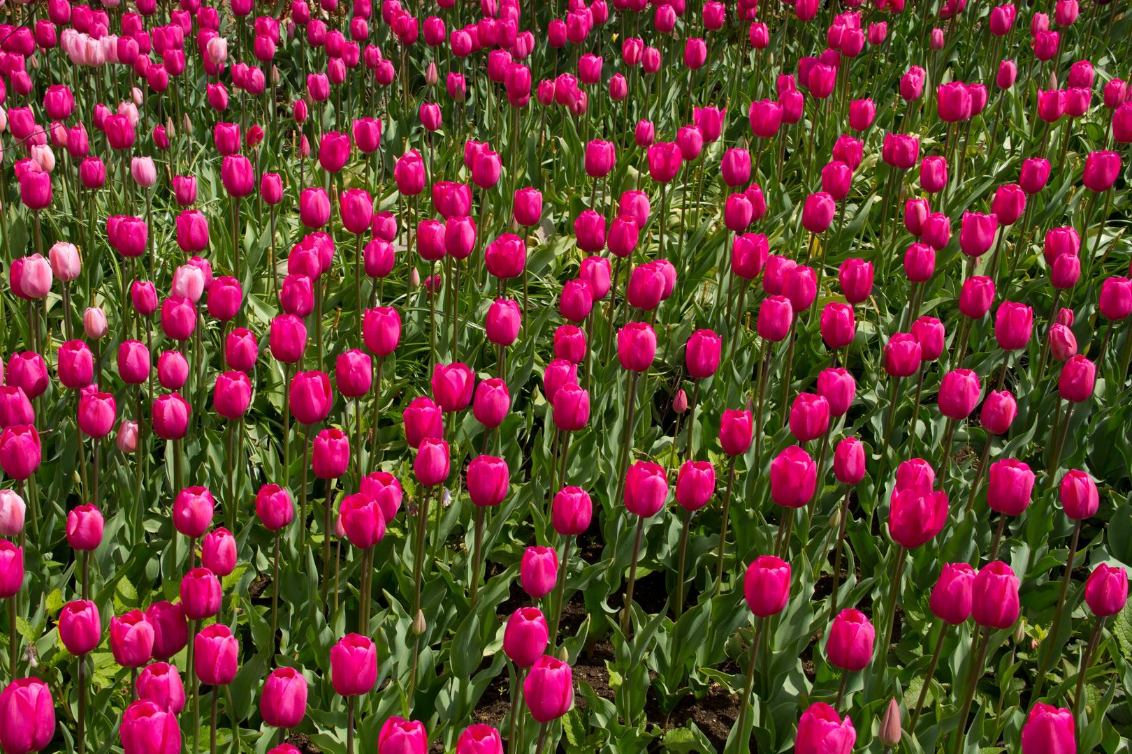 simply Tulpen