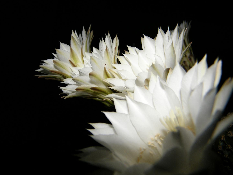 ...sind gestern an meinem Kaktus aufgeblüht