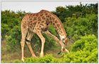 Sind Giraffen doch keine Vegetarier ?