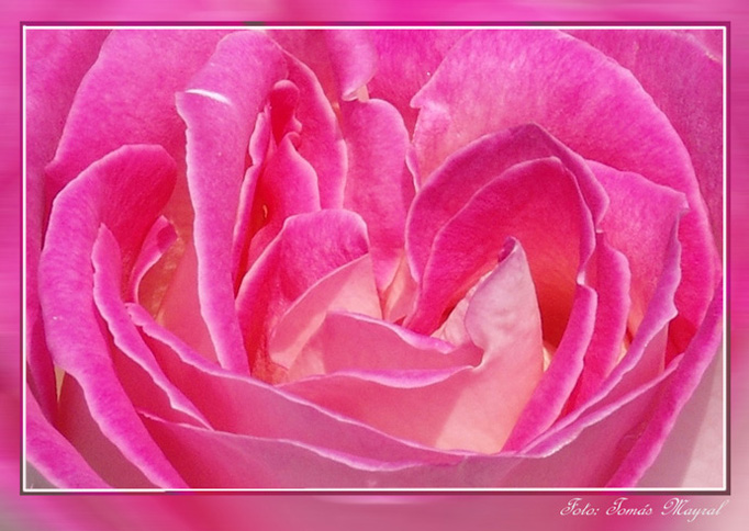 Sinfonia en Rosa