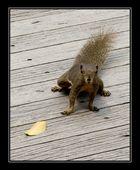 Singapor squirrel