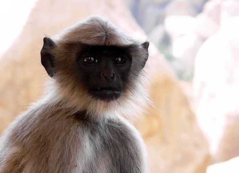 Singe à Hampi / Monkey at Hampi