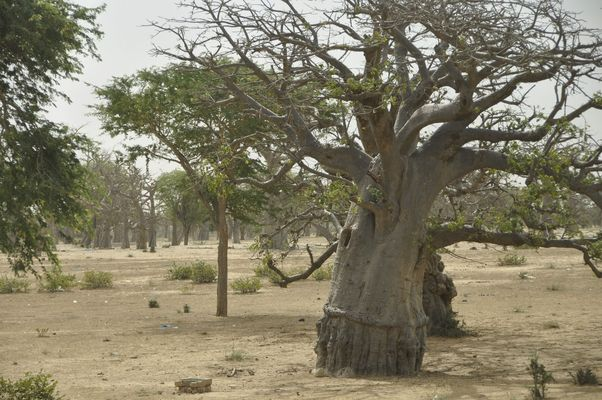 Singender Baobab