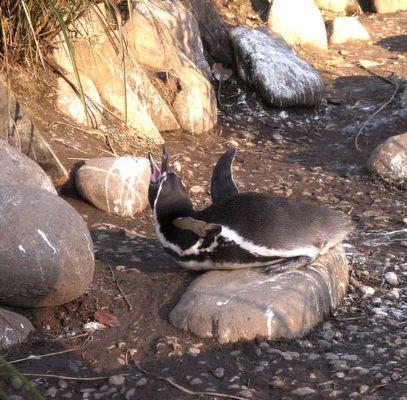 Singender Humbold Pinguin