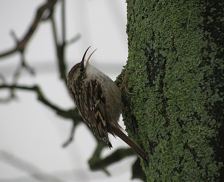 Singender Waldbaumläufer.....