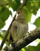 Singing nightingale