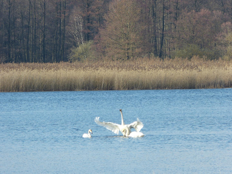 Singschwan schützt seine Familie