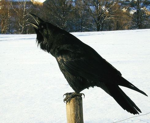 - Singvogel, der Größte -