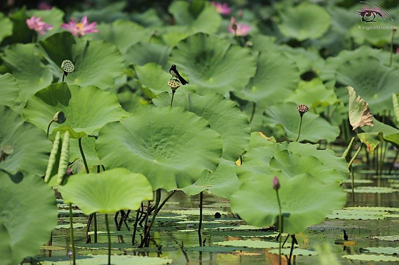 Singvogel im Lotuswald