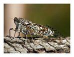 Singzikade (Cicadidae)