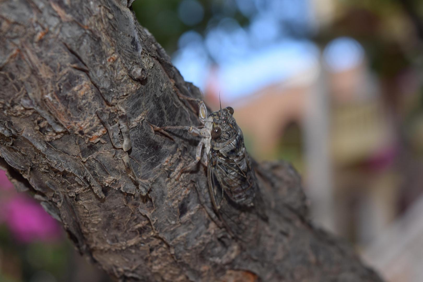 Singzikaden (Cicadidae)