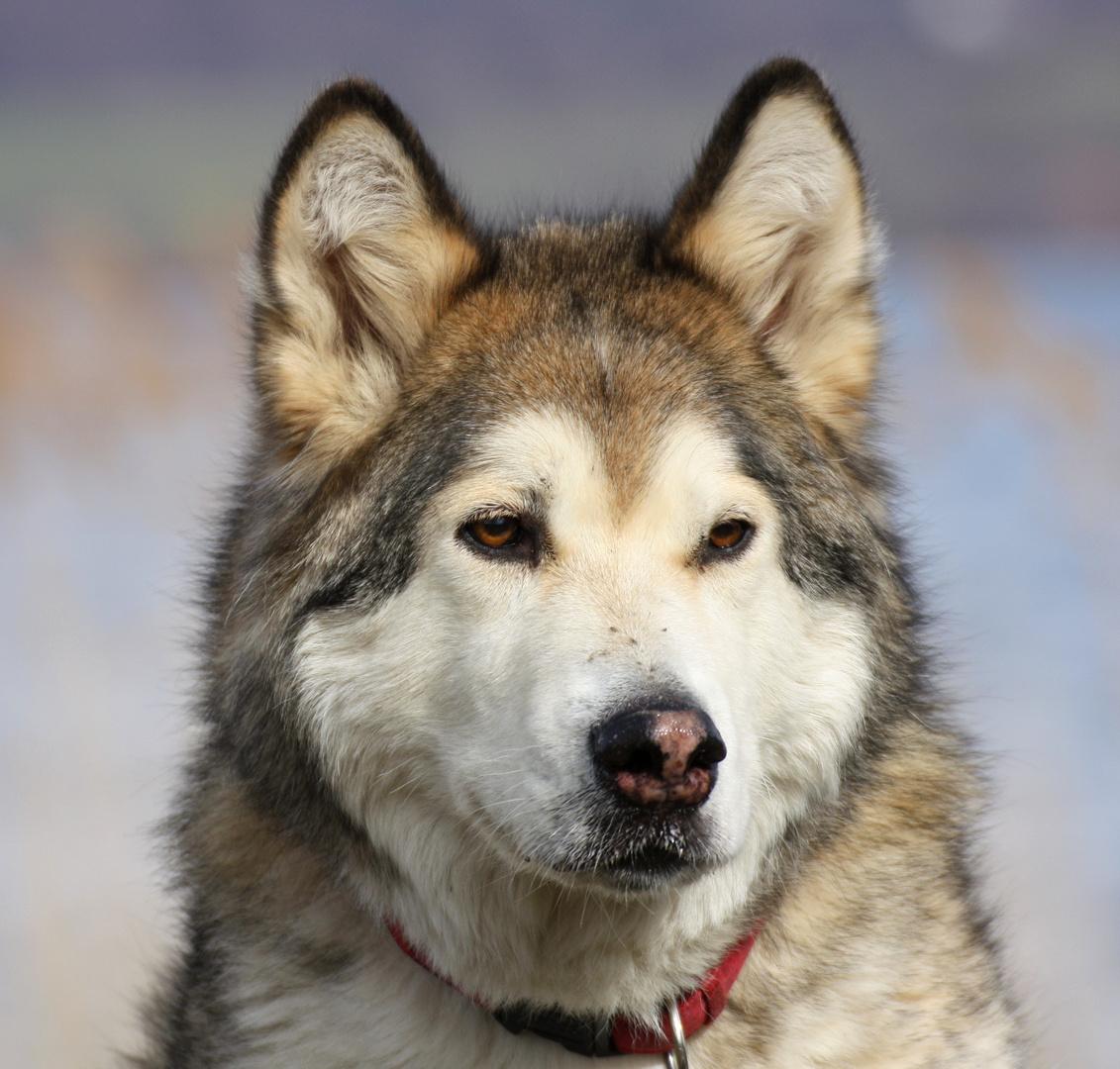 sinnierender Hund