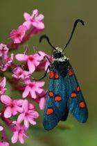 Sint Jans butterfly