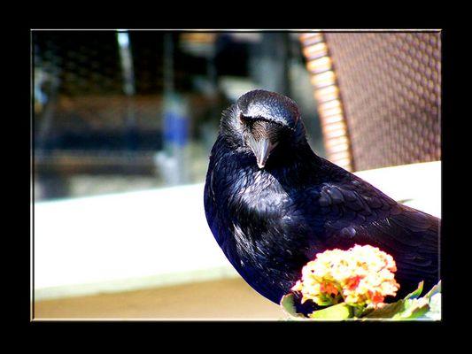 Sir Crow of Burger King
