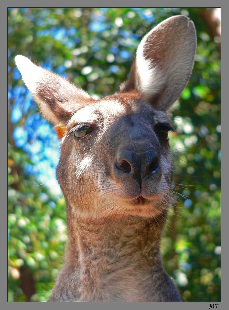 Sir Känguru