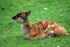 Sitatunga Antilope