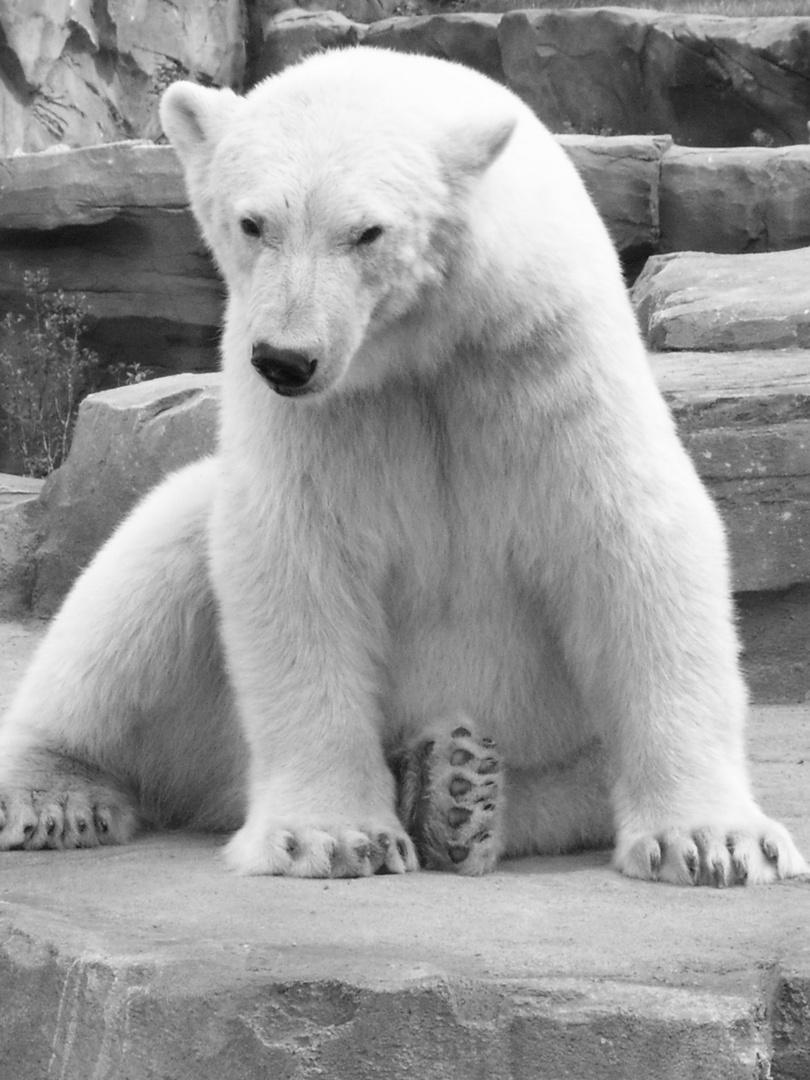 sitzender Eisbär