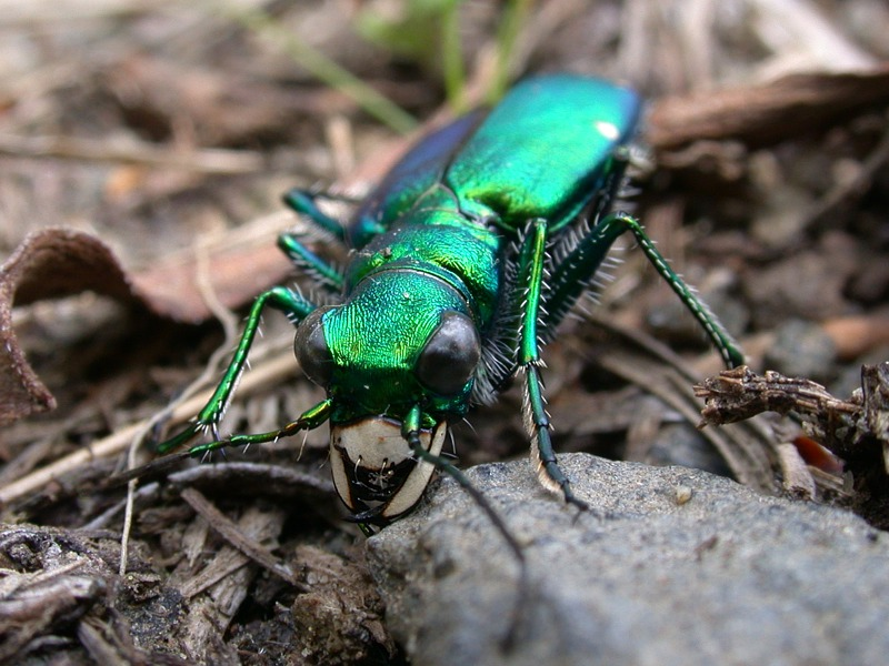Six Spotted Tiger beetles (Cicindela sexguttata) Portrait