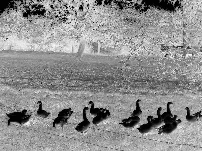 sixteen geese