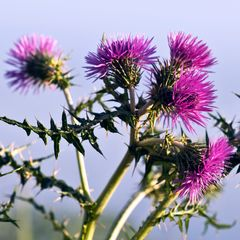 SIZILIANISCHE WILD-DISTEL
